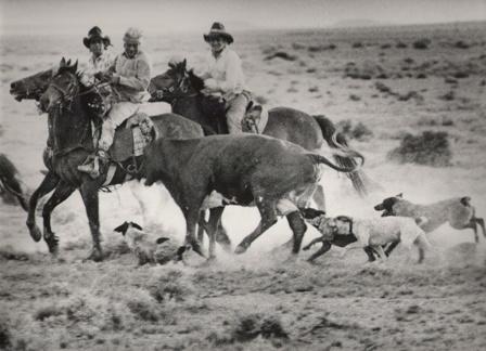 The Australian Stumpy Tail Cattle Dog